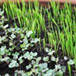 Microgreens - vollständige Anleitung für das grüne Superfood